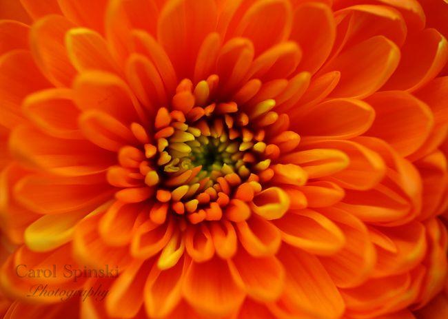 Orangemumcs